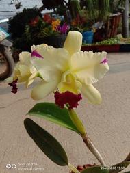 กล้วยไม้ แคทลียา Cattleya แคทลียาลูกไม้ สีขาวสแปช ดอกกลาง ออกดอกปีละ 1-3 ครั้ง กลิ่นหอมมาก ขนาดกระถาง6นิ้ว ไม่ติดดอก