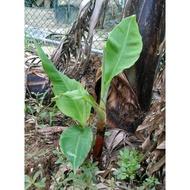 豐禾果園 香蕉苗