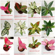Aglaonema varieties live plants from thailand please read the description first