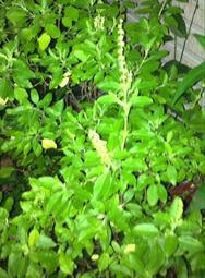 家坤種子專賣店: 聖羅勒種子 (打拋葉種子)荷立羅勒種子