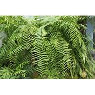 長葉腎蕨/4吋/綠化植物/室內植物/觀葉植物/蕨類1入
