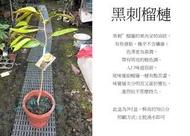 心栽花坊-黑刺榴槤/7吋/熱帶水果之王/嫁接苗/水果苗/售價7000特價6000