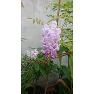 紫藤花盆栽(9寸、1尺)