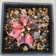 緋牡丹錦 緋牡丹  仙人掌 錦斑 多肉植物 療癒植