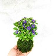 七分田  小花球 紫芳草苔球