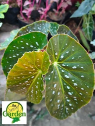 Begonia Maculata or Polka Dot Begonia with FREE plastic pot, pebbles and garden soil (Live Plant, Indoor Plant, Real Plant and Limited Stock)