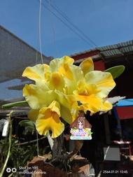 กล้วยไม้ แคทลียา Cattleya แคทลียาเนลแฮมเมอร์ สีเหลือง ดอกกลาง ออกดอกเก่ง มีกลิ่นหอม ขนาดกระถาง6นิ้ว ไม่ติดดอก