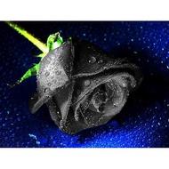 芳香花卉玫瑰種子 黑玫瑰種子 黑玫瑰 四季播種庭院陽台花卉植物