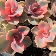 Hot Sale ไม้อวบน้ำสีรุ้ง Echeveria Rainbow  50pcs. ราคาถูก ต้นไม้ ไม้ ประดับ ต้นไม้ ประดับ พรรณ ไม้