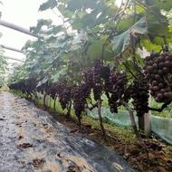 pokok hidup anak pokok anak pokok buah anak pokok anggur Benih Anggur Sapphire Manis, Keranjang Buah, Benih Sapphire Dit