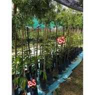 Anak Pokok Durian D200 / Orchee / Duri Hitam / Black Thorn