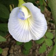 【超享購】蝶豆 天然染劑 淺藍蝶豆花種子 蝶豆種子 複瓣深藍色 複瓣 單瓣