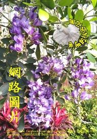 3-4吋盆 [香花紫藤花盆栽 德州山月桂] 室外植物活體盆栽 觀賞花卉盆栽 ~ 數量少.不是隨時都有! 先確認有沒有貨~