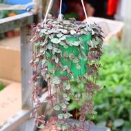 succulent plant seeds succulent soil succulent planter succulent pot plant seeds ♛Succulent potted plant love vine flesh