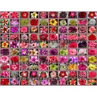 (新品種子)進口多肉沙漠玫瑰Adenium obesum種子10粒 純種100個品種如圖包郵 熱賣多肉種子 優惠特賣