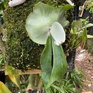 P.willinckii cv Bogor爪哇波哥鹿角蕨