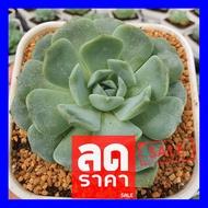 SALE !!สุดๆ ## Echeveria Snow Bunny กุหลาบหินนำเข้า ไม้อวบน้ำ Live Succulents Plant ##ต้นไม้และเมล็ดพันธุ์ดอกไม้