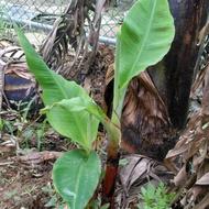 豐禾果園香甜香蕉苗80