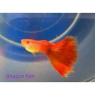 Shalom Fish~ 沙龍好魚 純品系 丹頂紅白子 孔雀魚 高雄市可面交 飼料