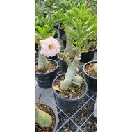 Adenium Thailand real Live Plant ( Random Colour )