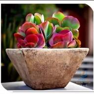 เมล็ดพันธุ์ ไม้อวบน้ำ Succulent 20 เมล็ด สีรุ้ง