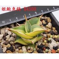 多肉植物 虎尾蘭 姬鮑魚錦