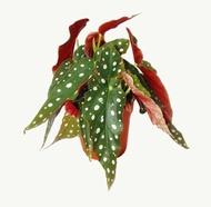 Rare Begonia Maculata 'Pokka Dots Begonia'