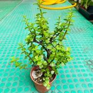 [王冠園藝]樹馬齒莧,銀杏木,外銀杏,Portulacaria afra,3吋室內盆栽小品