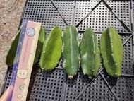 ตอสามเหลี่ยม ตัดสด 3นิ้ว 1ตอ ตอราคาถูก สามเหลี่ยม ตอกราฟ Cactus แคคตัส กระบองเพชร ไม้อวบน้ำ ไม้กราฟ