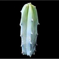 โปรโมชั่น เพชร ไม้อวบน้ำ แคคตัส cactus succulent seeds เมล็ดพันธุ์ Myrtillocactus geometrizans (ตอบลู) ลดกระหน่ำ เมล็ดแคลตัส แคลตัสสวยๆ แคลตัสจิ๋ว แคลตัสถังทอง