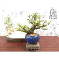 英宏-小品盆栽-狀元紅瓷盆.1