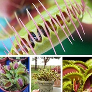 100pcs VENUS FLY TRAP Seeds Carnivorous Dionaea Muscipula Flower Seeds Catch Insect Plants