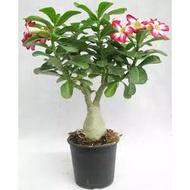 REAL LIVE PLANT ( RANDOM ) ADENIUM THAILAND 富贵花 BUNGA KEMBOJA WITH PLASTIC POT