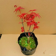 Japanese red maple red wuji old pile bonsai four seasons red maple bonsai red maple sapling living room indoor potted pl