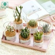 succulent soil succulent planter plant seeds seeds succulent plant succulent pot ✦Succulents Cactus Potted Jade Pork Pri
