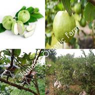 กิ่งตอน ฝรั่งกิมจู (Guava Gimju) สายพันธุ์แท้ ลูกดก ผิวสวย กิ่งใหญ่ ยาว 1 เมตร ราคา 150 บาท