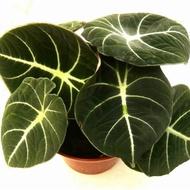 LazadaChoice Alocasia Elephant Ear Bonsai flower Potted Indor Plants (100 seeds)