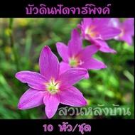 10 หัว/ชุด บัวดิน ฟัดจาร์พิงค์ (Z. Fadjar Pink) ชื่ออื่นๆ ว่านขุนแผนสะกดทัพ, บัวจีน, บัวฝรั่ง, บัวสวรรค์