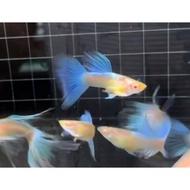 🐠🐠牧 谷 牧 魚🐠🐠 天空藍白子 藍尾禮服白子 孔雀魚