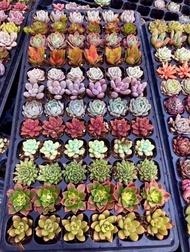 ไม้อวบน้ำ succulent cactus พืชอวบน้ำ (ไม้นำเข้า) คละสีคละพันธุ์ น่ารักๆ ตั้งโต๊ะทำงาน Office/Home/Garden ไซต์Size 1.5-6.8cm. 1ต้น/PCs