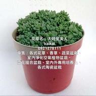 多肉植物:大姬星美人