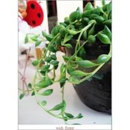 WISH FOREST【多肉植物。弦月】垂吊植物~~