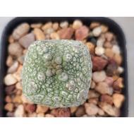 Hot..!![] - pseudolithos cubiformis คางคกเหลี่ยม แคคตัส กระบองเพชร ไม้อวบน้ำ..เมล็ดพันธุ์คุณภาพดี..!!