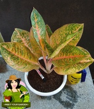 Aglaonema Harley Queen (Rare Plant) with FREE white plastic pot pebbles and garden soil (Rare Plant) -  Live Plant / Indoor Plant