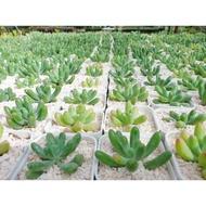 Hot Sale ต้นไม้อวบน้ำ ใบกลมเขียว Jelly Beam #succulents #กุหลาบหิน ราคาถูก ต้นไม้ ไม้ ประดับ ต้นไม้ ประดับ พรรณ ไม้