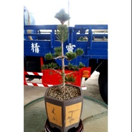 樹精靈景觀造園【日本進口壽松】鋁線塑型盆栽盆景紫砂盆