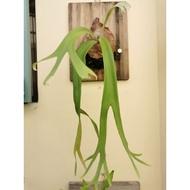 🏵️看水植物🌸爪哇鹿角蕨/上版鹿角蕨/蕨類植物