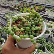New Arrival Senecio Rowleyanus Buddha Pearl 7cm G Succulents กุหลาบหินนำเข้า ไม้อวบน้ำ.Imported Live Succulents plant
