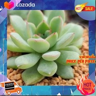 "[ Home Garden ] Echeveria Apus 3""Pot กุหลาบหินนำเข้า ไม้อวบน้ำ [ New Special Price!! ]"