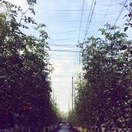 阿春與阿良的玉女小蕃茄